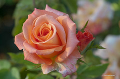 Rose photo by JSB PHOTOGRAPHS