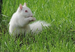 Albino Squirrel In My Yard photo by rabidscottsman