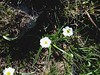 Renoncule de Kuepfer, Ranunculus kuepferi
