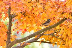 Great Tit in Autumn colors photo by myu-myu