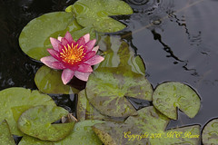 Waterlily, Day Flowering (Hardy) in RAIN at Longwood Gardens PA photo by takegoro