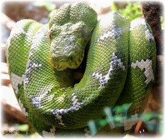 Green Tree Boa photo by John C. Akers jr.
