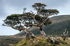 Dragon Tree photo by joeri-c