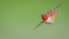 Rufous Hummingbird (Selasphorus rufus) photo by ER Post