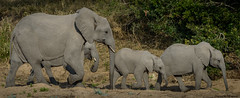 Elephant Family - South Africa photo by petechar