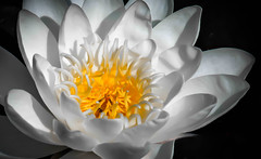 Water lily photo by Digisnapper