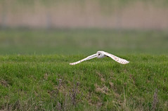 Barn Owl-Tyto alba In Flight. Uk photo by PANDOOZY PHOTOS