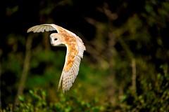 Barn owl photo by VisitScotland