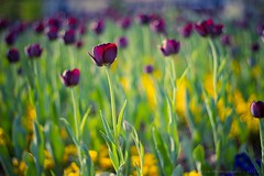 Tulips photo by icemanphotos