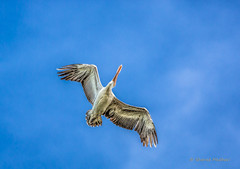 Spot Billed Pelican in flight - Canon 5D Mark III, EF 100-400mm L lens photo by Sharad Medhavi