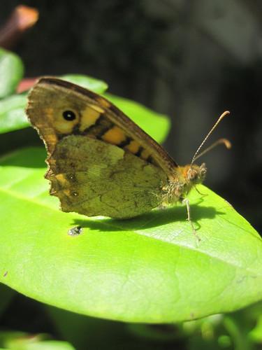 papillon tircis