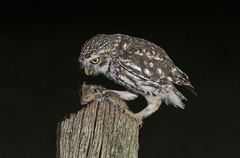 Little Owl (Athene noctua) photo by icemelter4