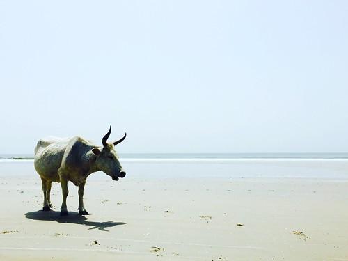 Senegal, Cap Skirring, cow on the beach