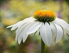 Summer's Arrival - The Coneflower photo by GAPHIKER