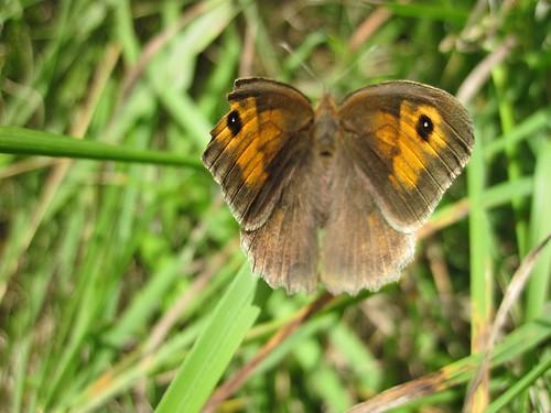 papillon le Myrtil