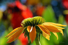Yellow Coneflower photo by ozVADERzo