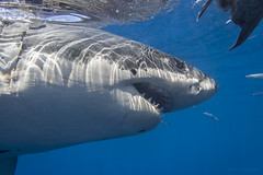 Cal Ripfin close up - male great white shark photo by George Probst