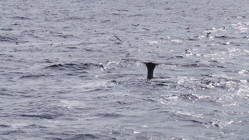 2013-0721 807 Andenes tweede duik walvis 37