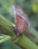 papillon de nuit La Découpure ou la Friande - Scoliopteryx libatrix