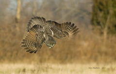 GREAT GRAY OWL 12 photo by AIR BUS