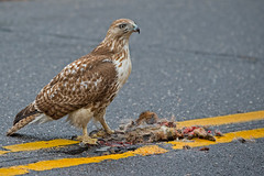 Red-tailed Hawk photo by Brian E Kushner