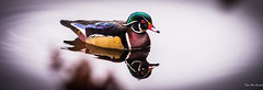 Vancouver Jan 14 - Wood Duck photo by Ted's photos - Gone until late Nov.