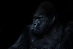 Gorilla photo by bayernfoto