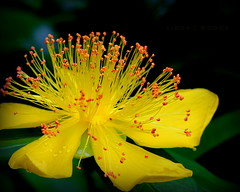 Great St. John's Wort photo by Lin_Woods
