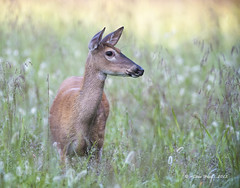 White Tail Doe In The Morning Dew. photo by stan hope Off and on.