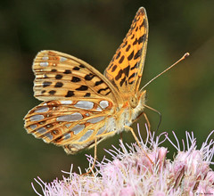 Butterfly - Queen of Spain Fritillary photo by timz501