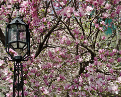 Spring in NYC [Explored] photo by WhiteFlowersFade