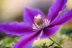 Clematis photo by j man.