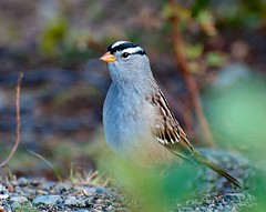 Bird (White Crowned Sparrow) photo by hecticskeptic
