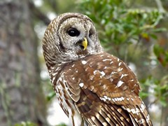 The Beauty of a Barred Owl photo by ChicaD58