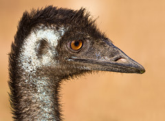 Close encounters of the Emu kind photo by Mr Bennett Kent