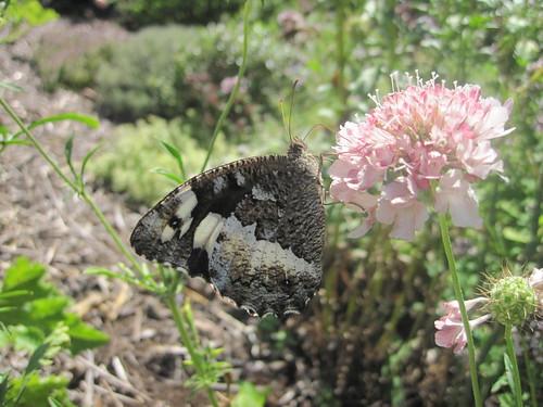 papillon le Silène