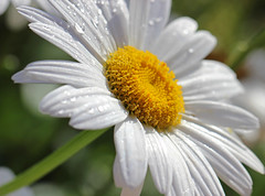 Oxide Daisy photo by Martin Windsor