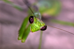 Mantis photo by Gary Breashears