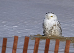 Snowy Owl photo by John Picken