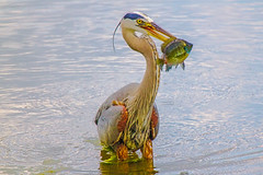 Blue HERON Bird got Food photo by Saibal K. Ghosh