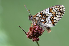 Heath Fritillary - Blean Woods NNR photo by mikehook51