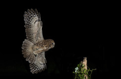 Tawny owl (Strix aluco) photo by icemelter4