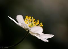 Anemone nemorosa photo by nemi1968
