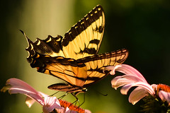 "Tiger Swallowtail came for a visit , in the ""Golden Hour"" photo by Brendahawk"