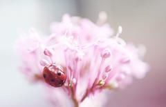 Ladybird on a flower photo by SilverishFox