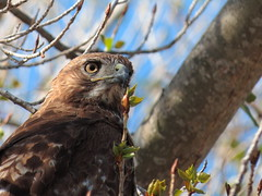 Red tailed Hawk_04_03_14_Vista CA 050 photo by Ryan Rubino