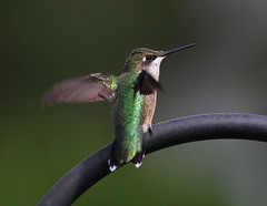The evening stretch - Ruby-throated Hummingbird photo by fazer53