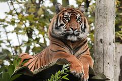 Sumatran Tiger photo by Sara@Shotley