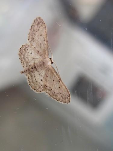 papillon La Frange Picotée
