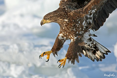 White Tailed Sea Eagle Close-up photo by tinyfishy